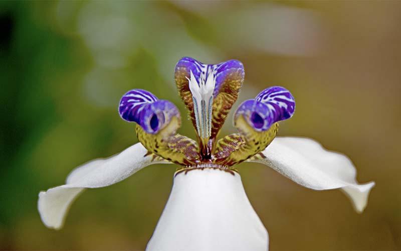 Iris marcheur