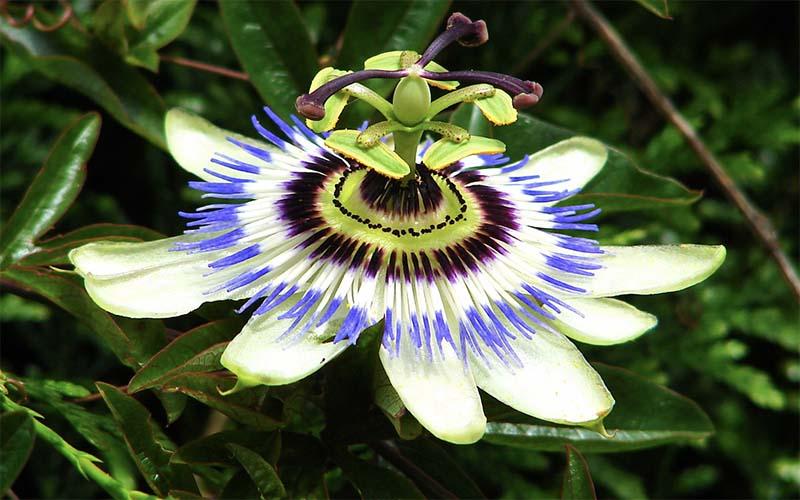 जुनून का फूल