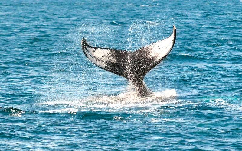 whale-reunion-island